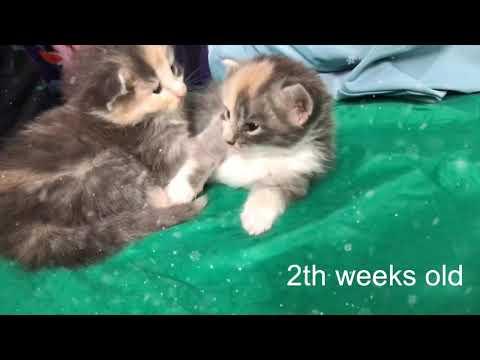 Bayi Kucing Norwegian Asli - Norwegian Forest Cat Baby's- 2weeks