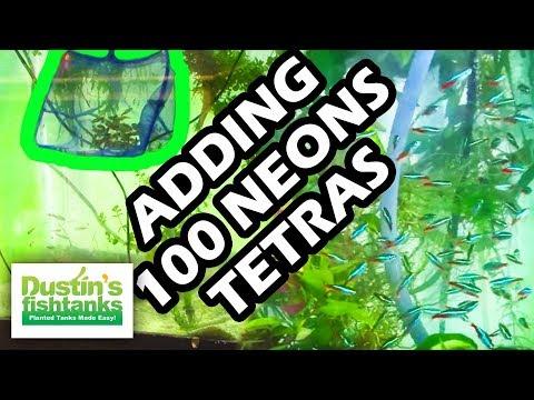 Adding 100 Neons, How to add new fish, Aquaponics fun