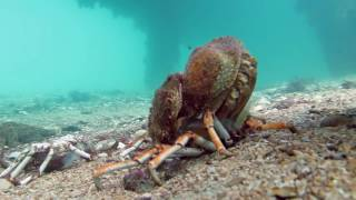 Spider Crab Molting Before Being Eaten by Stingray (muted)