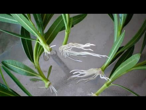How to grow oleander/ Kaner plant from cuttings