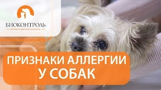 Аллергия у собак симптомы. 🐕 Как выявить симптомы аллергии у собак?
