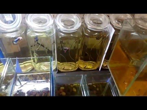 วิธีการดูแลปลากัดหูช้าง halfmoon CrownTails สไตล์ By X