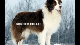 BORDER COLLIE - Work Dog & Companion [Training Guide]