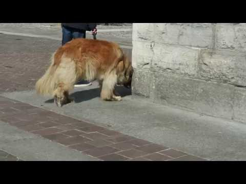 The Biggest Dog We've Ever Seen!!