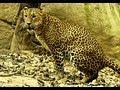 Strongest Leopard Cat of Singapore Zoo.