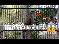 Trucuk 10 Juta Burung Trucukan Gacor Dan Garuda Tembakan Cucak Ijo Suara Mantap Nyesel Gak Nonton Ngeplong(.mp3 .mp4) Mp3 - Mp4 Download