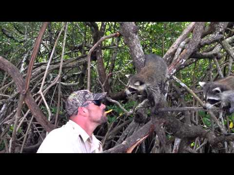 Feeding Raccoons In The Everglades, Florida Air Boat Tour