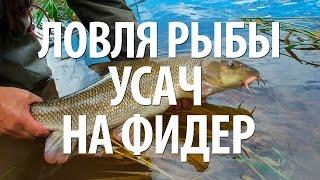 УСАЧ РЫБА - ЛОВЛЯ УСАЧА на ФИДЕР