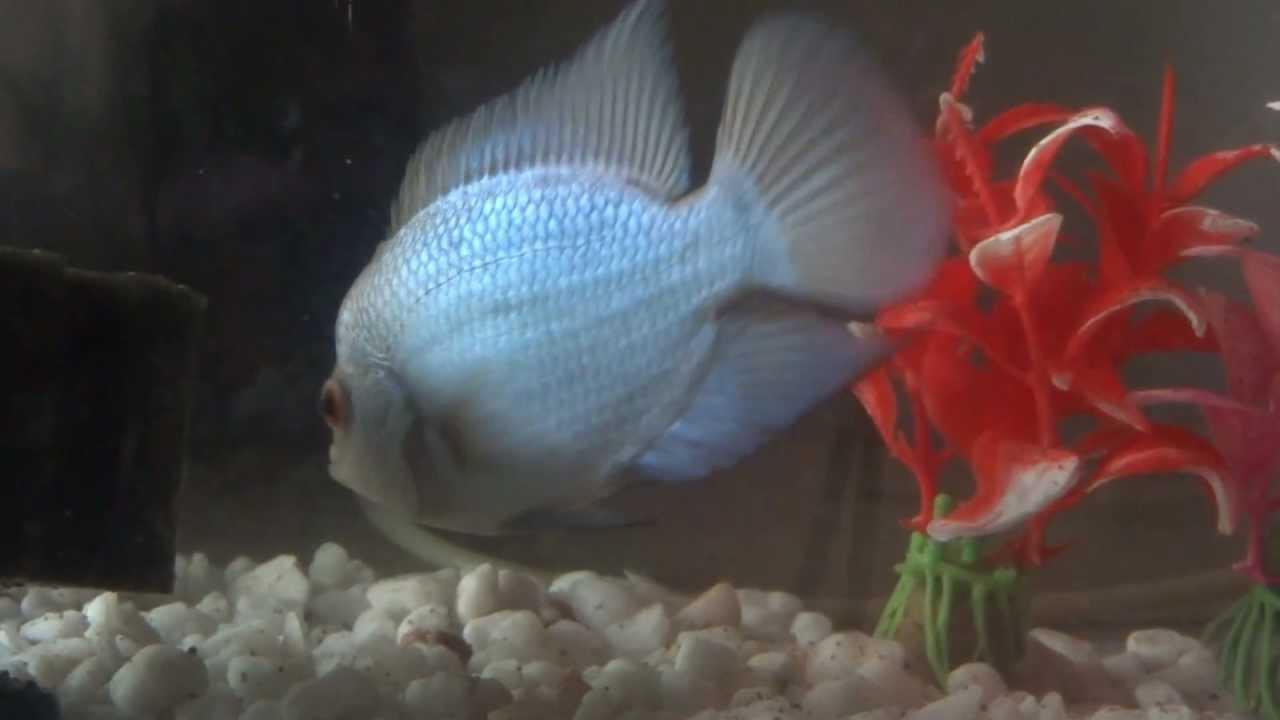 Blue Thai Silk Flowerhorn