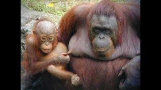 СУПЕР СМЕШНЫЕ ОБЕЗЬЯНЫ | ТОПовая подборка приколы с обезьянами 2017 |