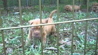 Red Dog Ridge Dogue De Bordeaux Pups 7 Weeks Old Part 2