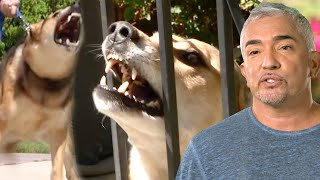 Cesar Must Tame Dog Whose Bite Sent Owner To The Hospital   Cesar 911