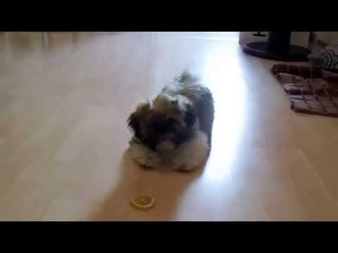 Cute Shih tzu is fighting with a lemon