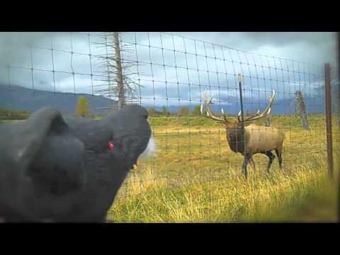 Henrietta Talks to Animals! - 'An Alaskan Elk'