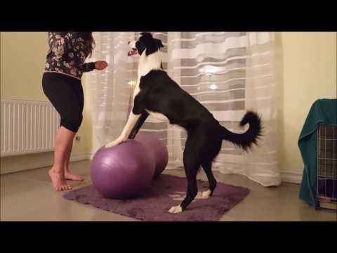 Malibu & canine fitness: front legs ROM