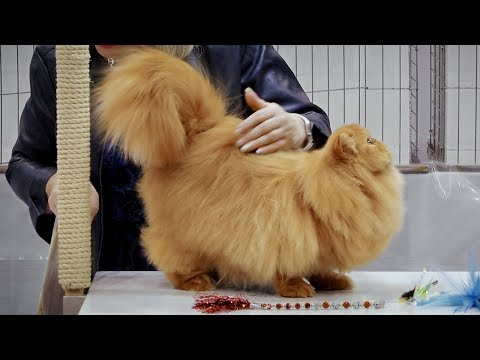 CFA International Cat Show 2018 - Persian kitten class judging - Solids.2