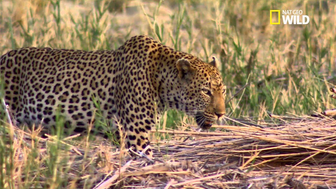 Download le léopard : un expert en embuscade
