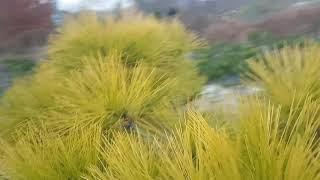 황금소나무 판매01022355757  2020년 11월…