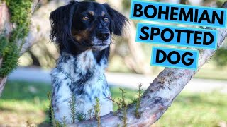 Bohemian Spotted Dog - TOP 10 Interesting Facts