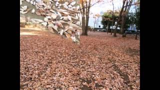 Les feuilles mortes   枯葉 岩谷時子訳詞・ジョゼフ・コズマ作曲(歌詞詳細は下部に記載)