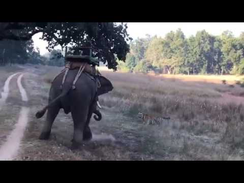Male tiger attacks elephant - New video
