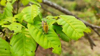 สารกำจัดแมลง ปีกแข็ง (ด้วงค่อมทอง) ได้ผลดีมาก