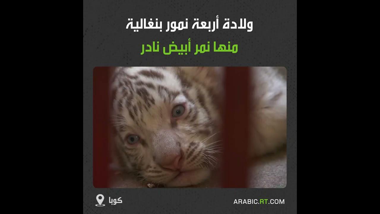 ولادة 4 نمور بنغالية في حديقة حيوانات كوبية  - نشر قبل 21 دقيقة