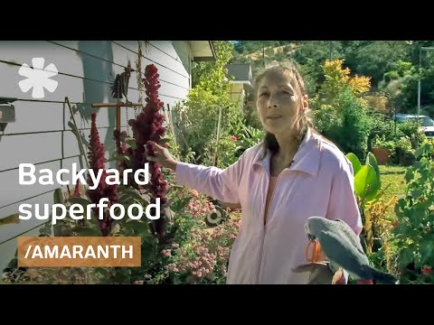 Amaranth: A Superfood For The Backyard Gardener
