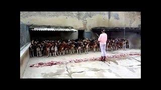 Удивительная выдержка собак -  как кормят 300 собак в питомнике