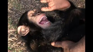Playtime at Liberia Chimpanzee Rescue & Protection
