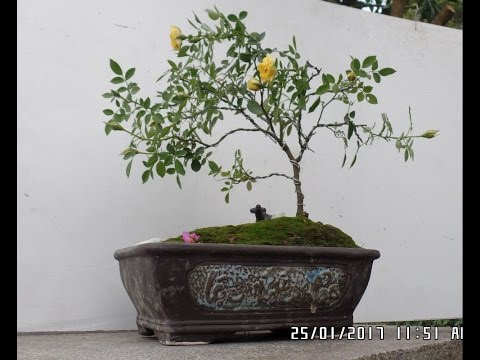 How To Miniature Roses As A Bonsai Tree Wiring Rose Bonsai Tree Youtube