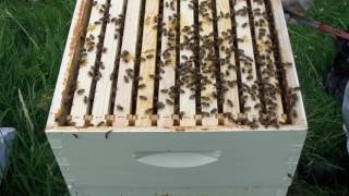 Hive inspection (PT. 2): meanest hive I've ever seen.
