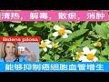 鬼针草(大花咸丰草) ~清热解毒抗炎治痢疾.Bidens pilosa~plant benefits.kegunaan bidens pilosa