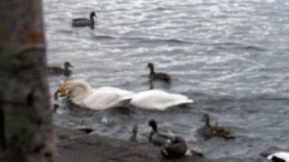 Ducks and swans fighting for bread II
