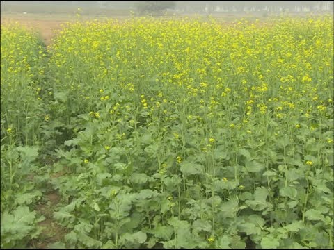 Krishi Darshan I Mustard Crop Management