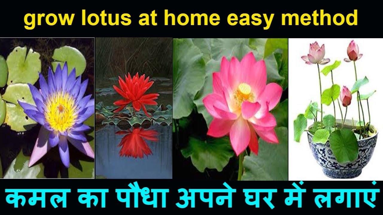 Diy how to grow lotus flower plant at home easy method growing diy how to grow lotus flower plant at home easy method growing germinate germination lotus seeds izmirmasajfo