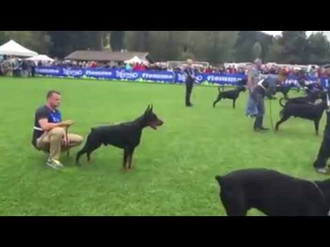Doberman Pinscher Best In Show - European Dog Show