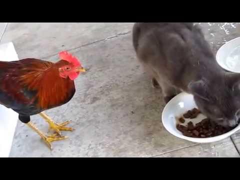 Петух дерется с кошками