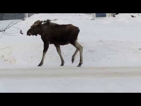 Moose calf in town of Caribou, Maine