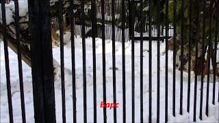 Прекрасные кошачьи  (гепард, барс, тигр). 03.03.19 г.