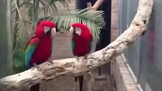 #Крутые попугаи. Танцуют под музыку. Смешное видео#
