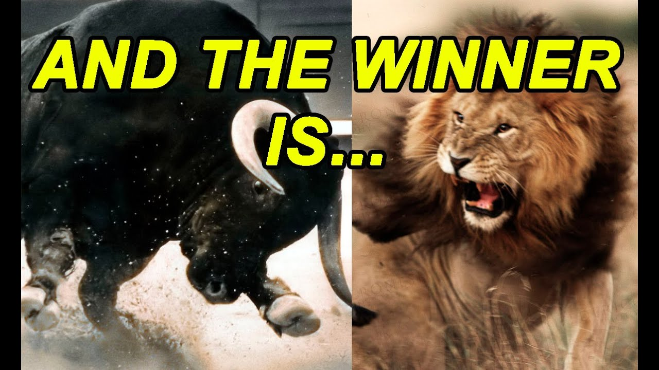 Bull vs Lion : Unbelievable Result, Real Fight