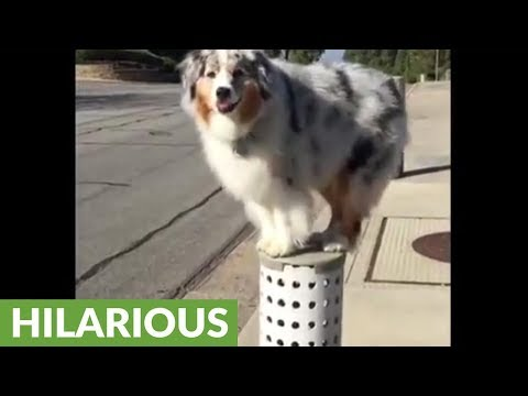 Australian Shepherd loves to parkour during walks