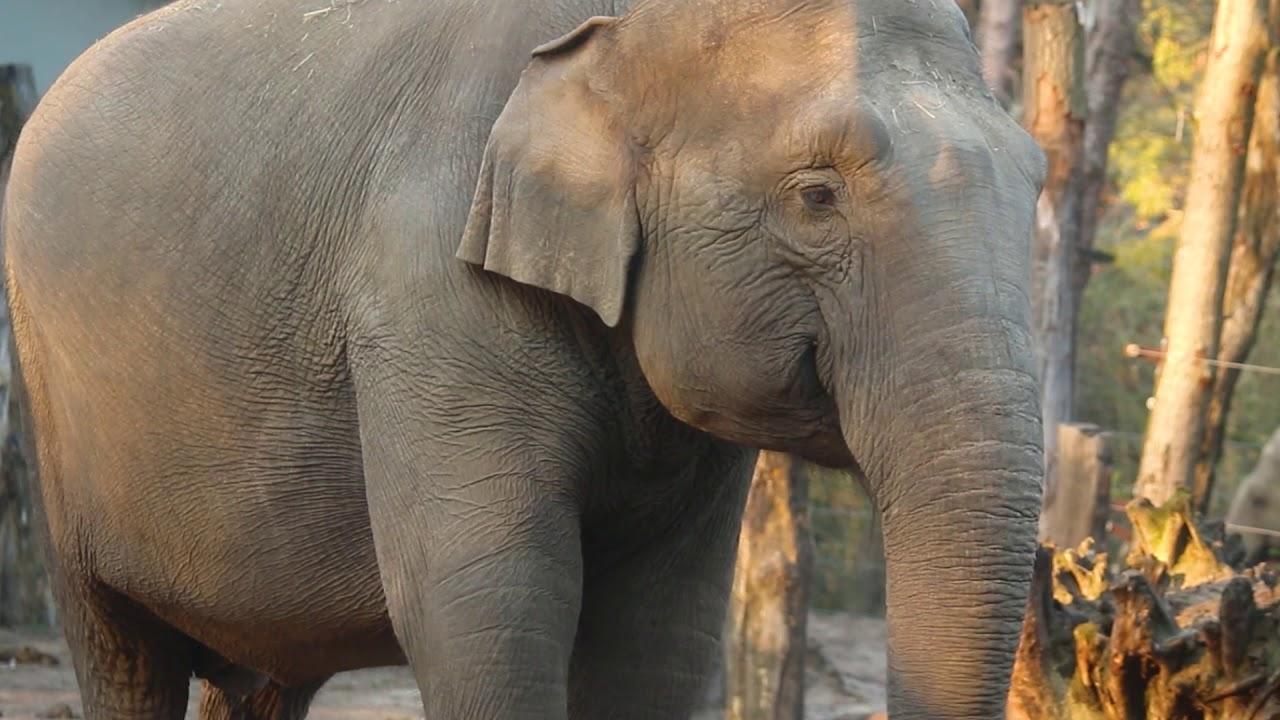 Geen kalf op komst bij olifant Indra in DierenPark Amersfoort
