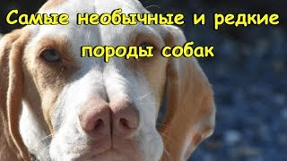 САМЫЕ НЕОБЫЧНЫЕ И РЕДКИЕ ПОРОДЫ СОБАК  THE MOST UNUSUAL AND RARE BREEDS OF DOGS