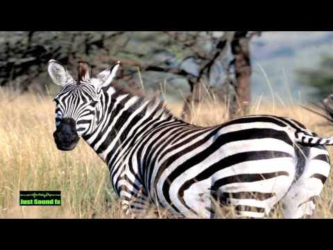 zebra sound - YouTube