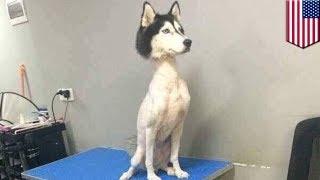 体の毛を剃られてしまったシベリアンハスキーの写真が、SNSに投稿され、...