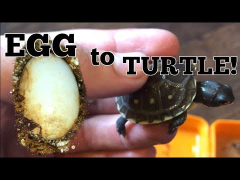 Box Turtles Hatching and What to Expect