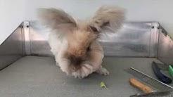 Pfoten & Ballenpflege bei Angora-Kaninchen 🐰🐾