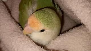 計17個目卵産んだ夕方 ねんね前 小桜インコ 我が家の天使たち5羽α thumbnail